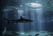Shark Digital Art Framed Prints - Hidden from Light Framed Print by Brad Scott