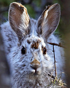 Lloyd Alexander-Pictures for a Cause - Hidden Snowshoe Hare