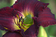 Day Lilly Photos - Hidden Treasures by Jodi Terracina
