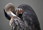 Paulette  Thomas - Hide and Seek - Great Blue Heron