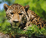 Jaguars Framed Prints - Hiding Framed Print by DiDi Higginbotham