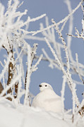 Ptarmigan Prints - Hiding in Frosty Branches Print by Tim Grams