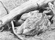 Black And White. Drawings - Hiding in Plain Sight - White Tail Deer Fawn by Suzanne Schaefer