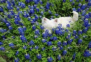 Carrie OBrien Sibley - Hiding in the Bluebonnets