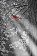Cardinal Photo Framed Prints - Hiding In The Forest Framed Print by Tom York