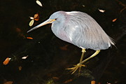 Rosanne Jordan - Hiding Tri Colored Heron