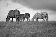 Grazing Horse Posters - High Browsers monochrome Poster by Steve Harrington