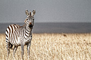 Outdoor Still Life Art - High Contrast Zebra by Mike Gaudaur