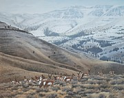 Peter Mathios Framed Prints - High Country Pronghorn Framed Print by Peter Mathios
