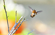 Migrating Hummingbird Framed Prints - High Flying Beauty Framed Print by Lynn Bauer