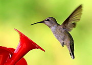 Wildlife In Gardens Posters - High Flying Hummingbird Poster by Carol Groenen