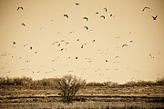 Marilyn Hunt - High Plains Seagulls