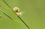 Snail Photos - High Speed Snail by Mircea Costina Photography