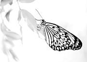 Sabrina L Ryan - Highkey Rice Paper Butterfly
