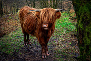 Cattle Digital Art Posters - Highland Beast  Poster by Adrian Evans