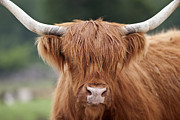 Kyloe Prints - Highland Cattle Print by Brandon Alms