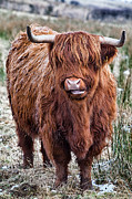 Snowy Field Prints - Highland Coo Print by John Farnan