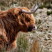 Humorous Artwork Posters - Highland Coo with tongue in nose Poster by John Farnan