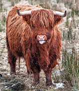 Snowing Posters - Highland Coo with tongue out Poster by John Farnan