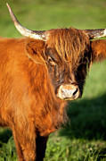 Franklin Farm Photo Posters - Highland Cow Poster by Brian Jannsen