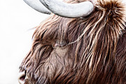 Snowing Posters - Highland Cow Color Poster by John Farnan