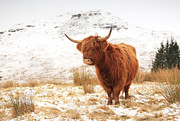 Animal In Snow Framed Prints - Highland Cow Framed Print by Grant Glendinning