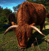 Longhorn Photos - highland cow HDR by Antony McAulay