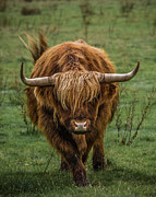 Highland Cow Art - Highland Cow by Ian Hufton