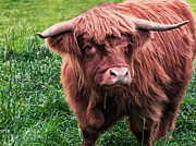 Coo Photos - Highland Cow by Jacqi Elmslie
