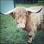 Farm Stand Photo Posters - Highland cow Poster by Les Cunliffe