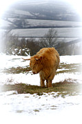 Linsey Williams - Highland Cow