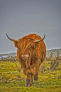 Chris Thaxter - Highland Cow on Bodmin...
