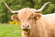 Kyloe Posters - Highland Cow Poster by Paul Brighton