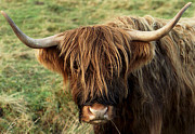 Cow Humorous Photos - Highland Cow by Philip Ralley
