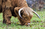 Steev Stamford - Highland cow