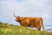 Skye Posters - Highland Cow Watercolour Poster by Chris Thaxter