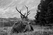 Keith Thorburn - Highland Deer Sitting