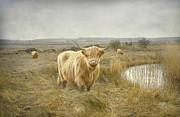 Roy McPeak - Highland Moo