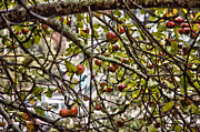 Store Fronts Framed Prints - Highlands Inn Apples Framed Print by Allen Carroll