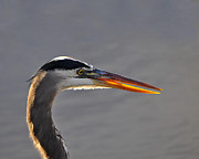 Grey Heron Posters - Highlighted Heron Poster by Al Powell Photography USA