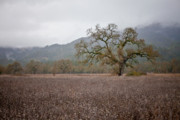 Sonoma County Art - Highway Oak by Derek Selander