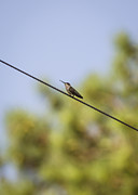 Bird On A Wire Prints - Highwire Act Print by Heather Applegate