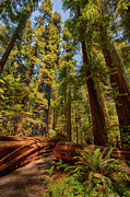 California Artist Prints - Hikers Paradise - California Redwoods I Print by Dan Carmichael