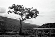 Guy Whiteley Photo Originals - Hildene Tree 5689 by Guy Whiteley
