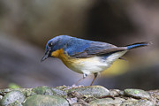Jean-Luc Baron - Hill Blue-Flycatcher