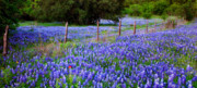 Blue Flowers Photos - Hill Country Heaven - Texas Bluebonnets wildflowers landscape fence flowers by Jon Holiday