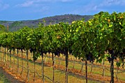 Hallmark Photos - Hill Country Vineyard by Kristina Deane