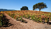 Kent Sorensen - Hilltop Vineyard in...