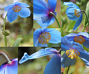 Blue Florals Prints - Himalayan Blue Poppy Collage Print by Jennie Marie Schell