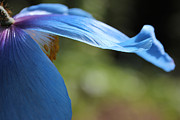 Flower Gardens Photos - Himalayan Blue Poppy Flower Repose  by Jennie Marie Schell